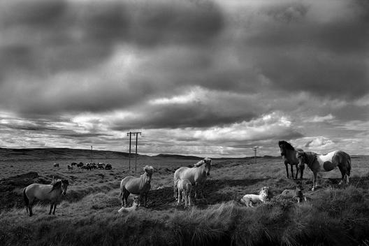 Icelandic Horses On Grazing On Grass Under A Cloudy Sky