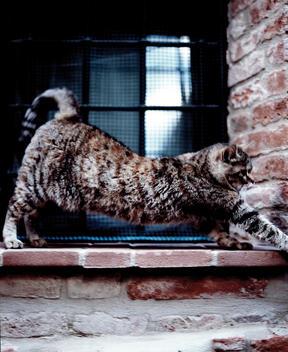 Cat Stretching On Window Ledge.