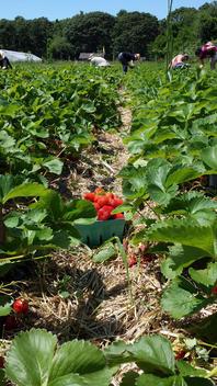 strawberry picking at organic u-pick farm