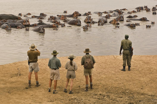 A walking safari party of people led by a guide ,watching a group of hippopotamus submerged in the river in the Luangwa Valley, Zambia.