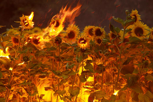 Sunflowers On Fire In Field