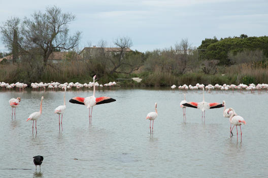 Pink Flamingos standing in a lake, spreading wings at the Parc Ornithologique in the Camargue, France
