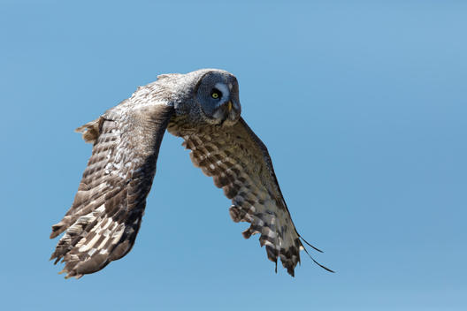 Great grey owl, Strix nebulosa, flying in front of blue sky