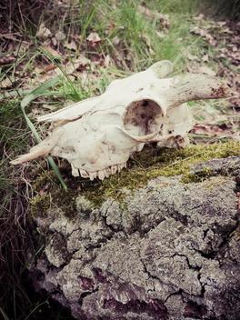 Animal skulls, goat skull, skulls, bones