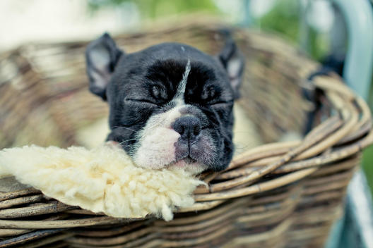 Germany, Rhineland-Palatinate, Boston Terrier, Puppy sleeping in a dog basket