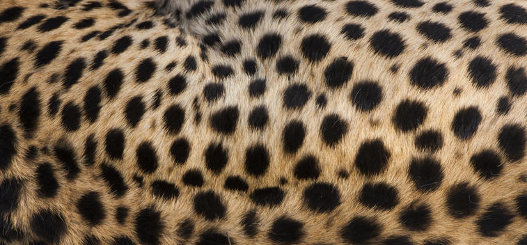 Close-up of cheetah spots on the animal\'s hide in Serengeti National Park, Tanzania