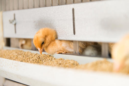 Baby Chick Feeding