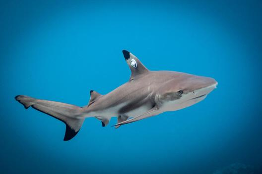 Juvenile blacktip reef shark swims free after it has been tagged, Lombok, Indonesia