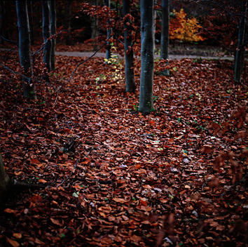 Red Leaves On Forest Floor, Autumn