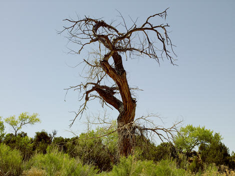 Desert Juniper Tree