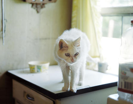 A Very Old Cat Stands On The Edge Of A Table