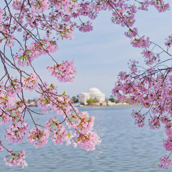 Cherry tree in blossom with Jefferson Memorial in background