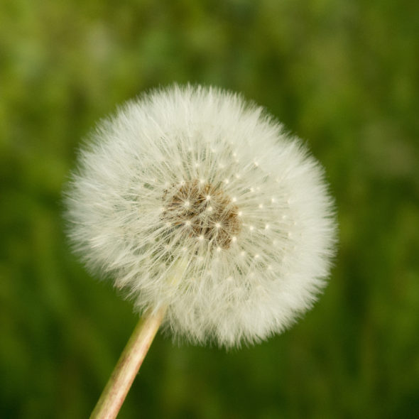 Withered Dandelion – Green Background