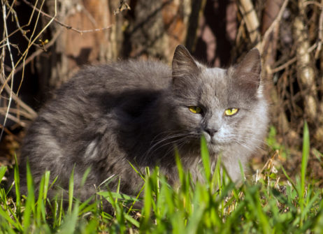 Free image of Gray Cat In Grass