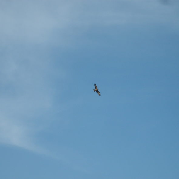 Bird of prey on the sky