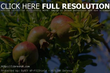 Pomegranate Fruit Growing on a Tree | Free Images For Commercial Use