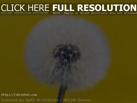 Withered Dandelion – Yellow Background