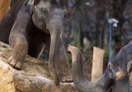 Free Image: Young Elephant With Mother | Libreshot Free Stock Photos
