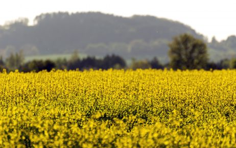 FREE IMAGE: Yellow field | Libreshot Public Domain Photos