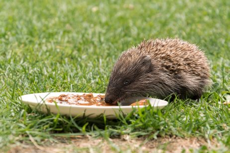 FREE IMAGE: Feeding a Hedgehog | Libreshot Public Domain Photos