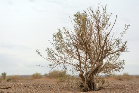 FREE IMAGE: Tree in the Gobi desert | Libreshot Public Domain Photos