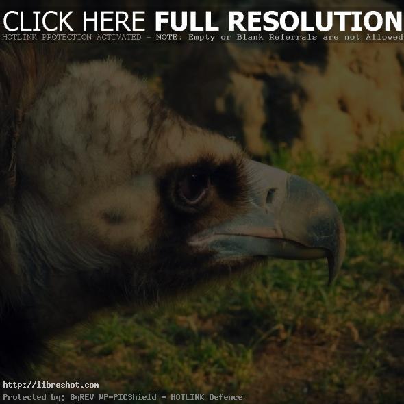 Vulture Head