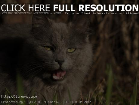 Free image of Grey Cat With Open Mouth