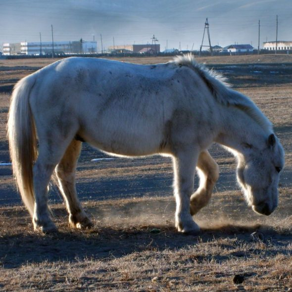 White Horse In Steppe