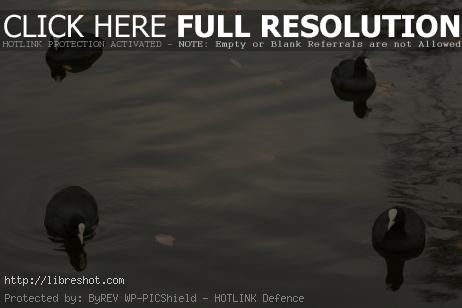 Eurasian coots | Free Images For Commercial Use