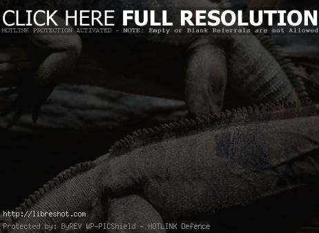 Free image of Cuban Ground Iguanas