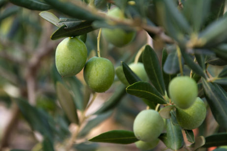Free image of Green Olives on the Tree