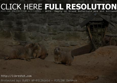 Free image of Black-tailed prairie dog