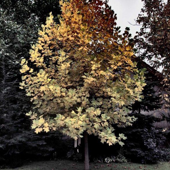 Autmn Tree