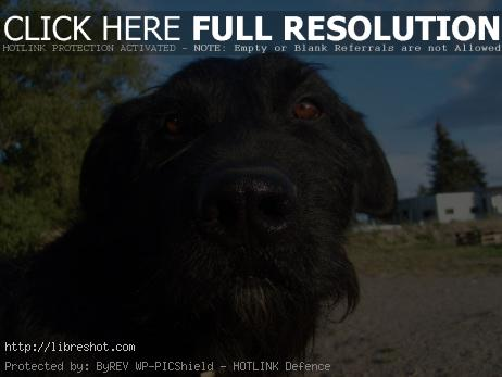 Black dog's face