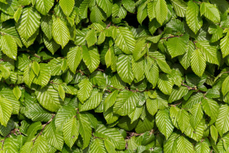 Free Image: Green Leaves background | Libreshot Public Domain Photos