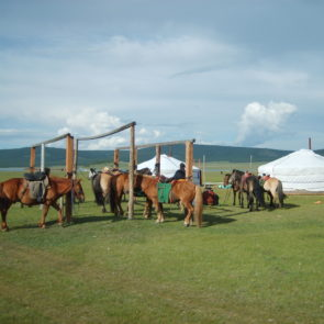 Tethered horses in Mongolia