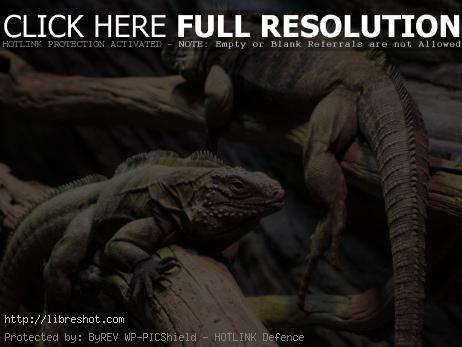 Free image of Iguanas