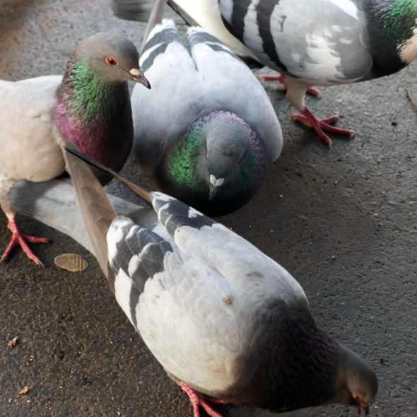 Domestic pigeons in the city