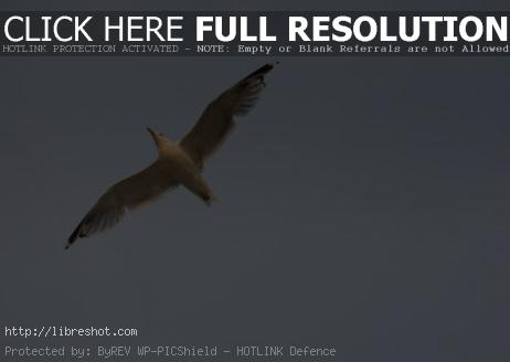 Free image of Flying Seagull