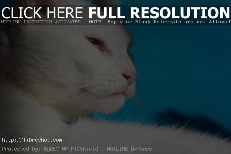 White Cat | Free Images For Commercial Use