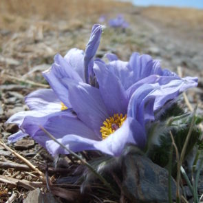 Blossom in steppe