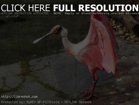 Free image of Pink water bird Roseate Spoonbill