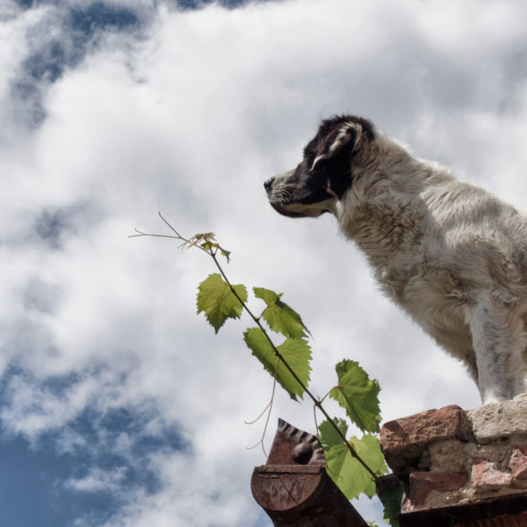 Dog Standing On The Roof