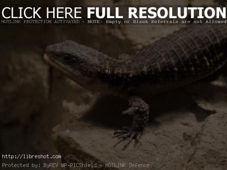 Free image of Tropical girdled lizard