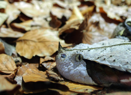Free image of Gaboon Viper