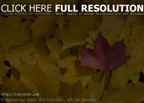 Red Leaf Between Yellow Leaves In Fall