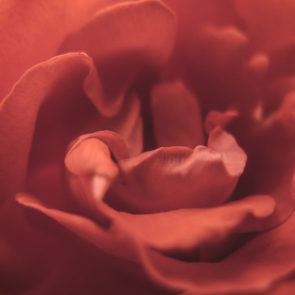 Red Rose Blossom Detail