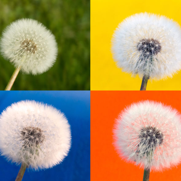 Withered Dandelion – Color Background
