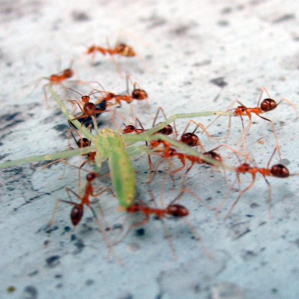 Ants eat the grasshopper