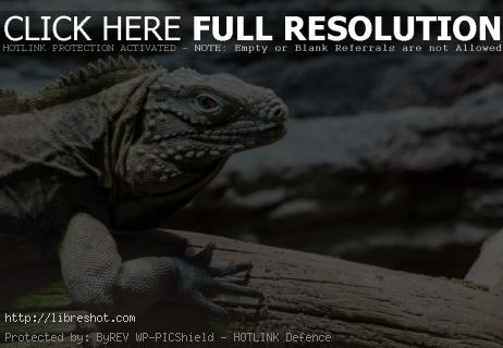 Free image of Cuban Rock Iguana With Red Eye